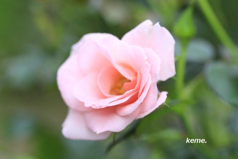 ピンクの薔薇a9月