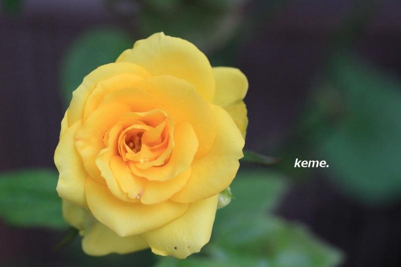 よっちゃんの薔薇