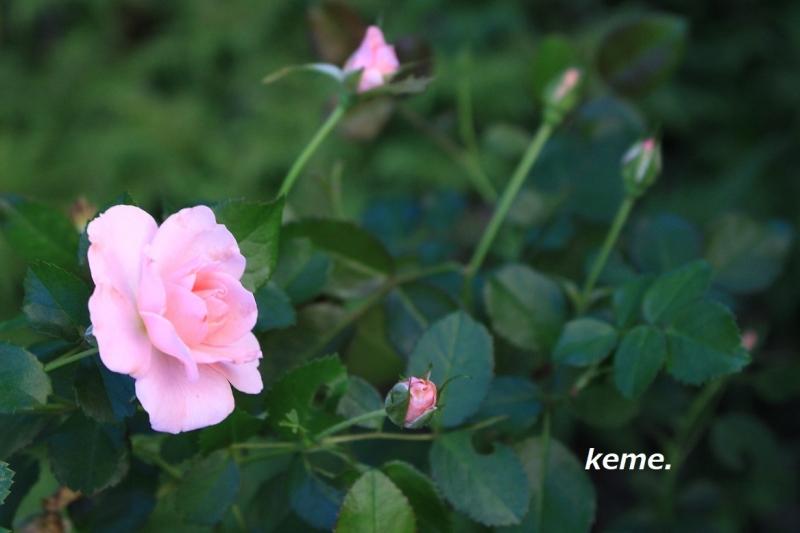 庭の薔薇 ピンク