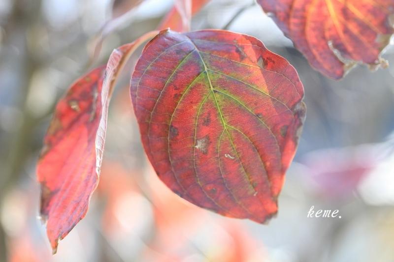 ハナミズキの葉っぱ
