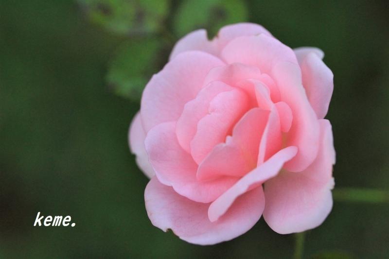 庭のバラ11月b