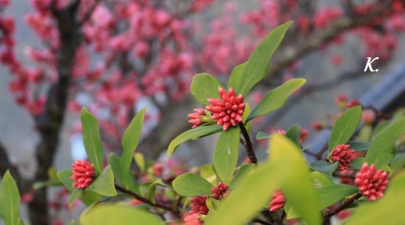 紅梅と沈丁花