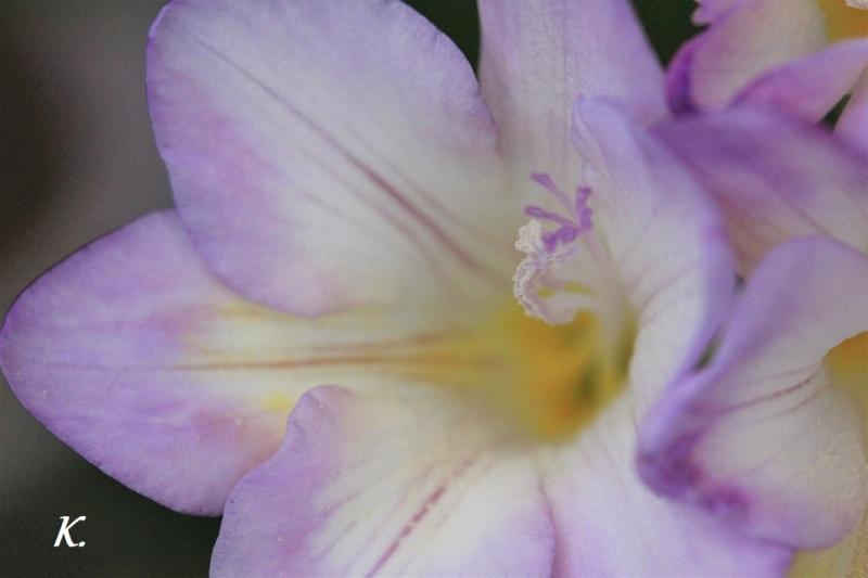 フリージア紫A