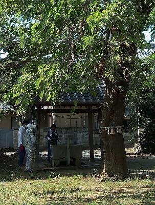 桑の大木 (2)