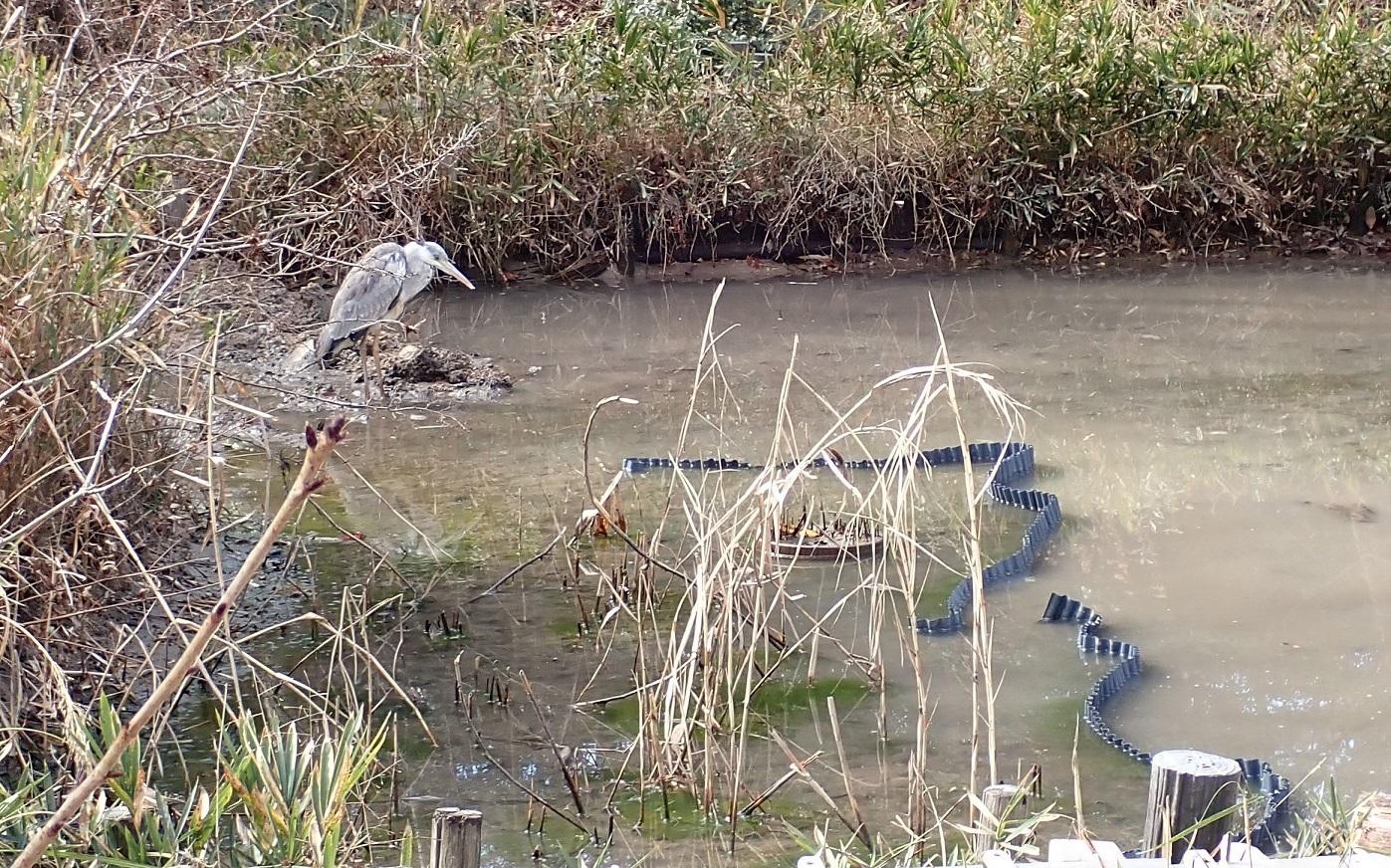 トンボ池のアオサギ2