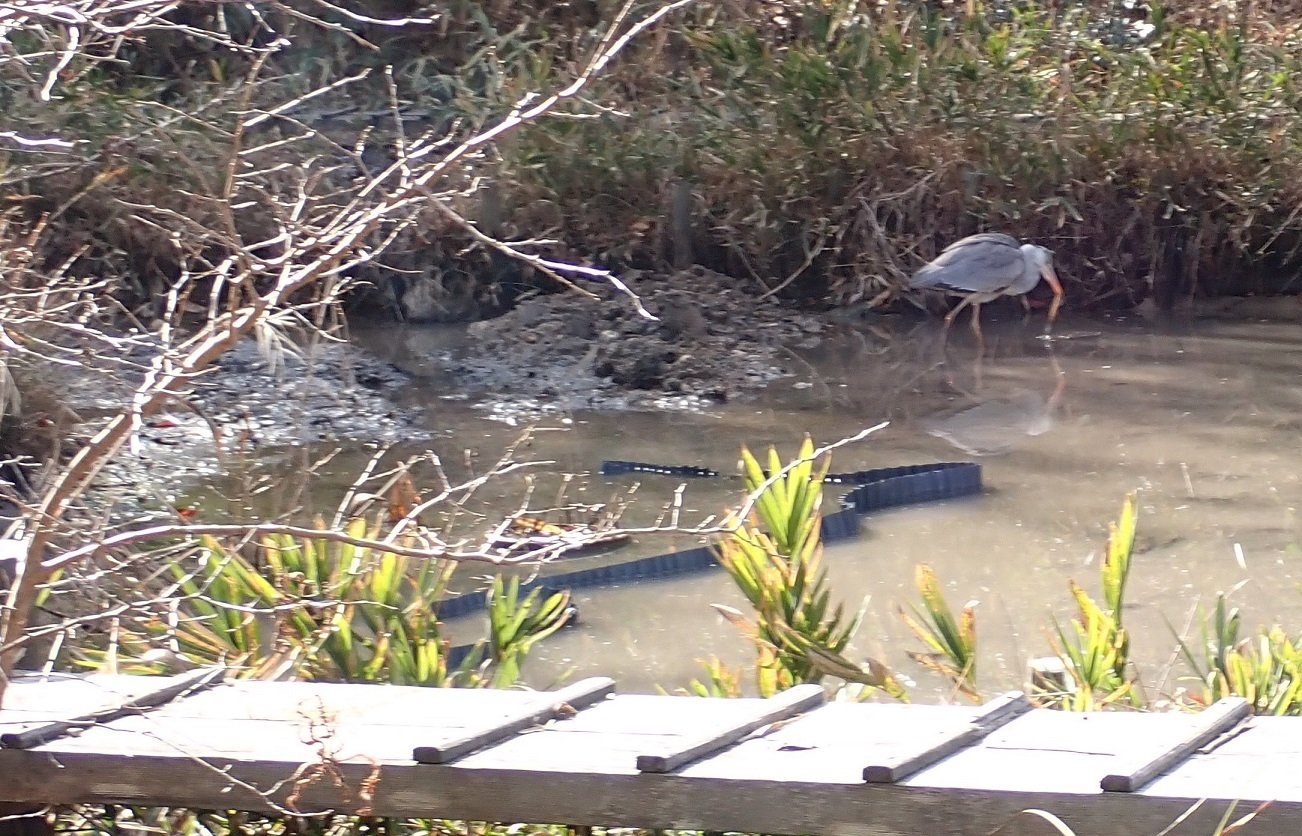 トンボ池のアオサギ3