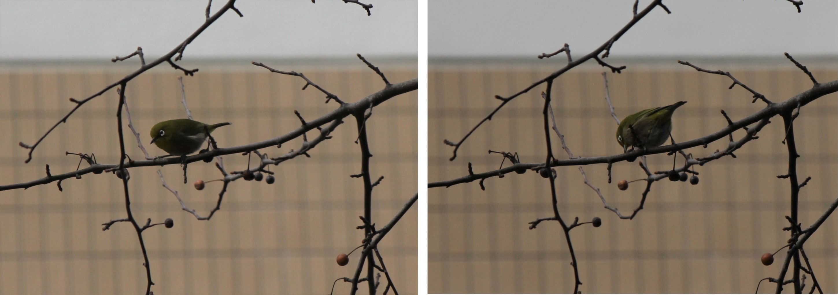 マメナシ―メジロ