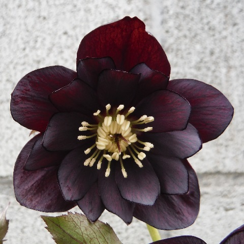 Christmasrose-Black-swan1-2020.jpg