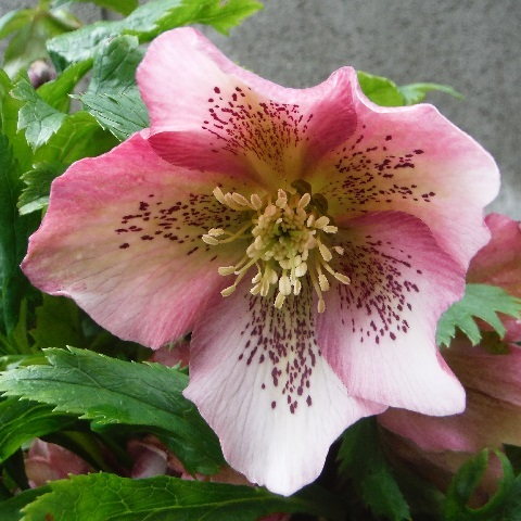 Christmasrose-Orientalis_Red1-2020.jpg