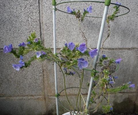 Echium-Blue_Bedder3-2020.jpg