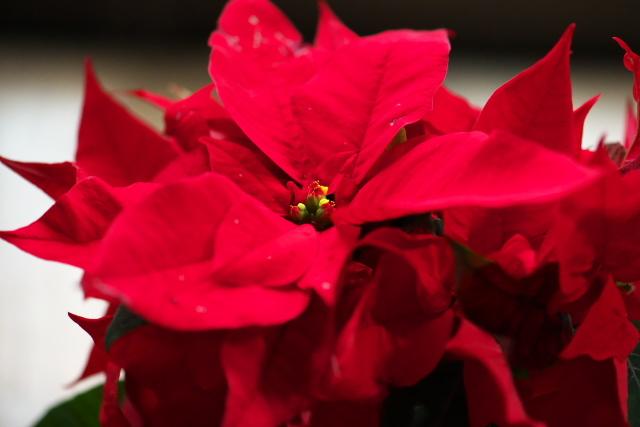 ポインセチア(Poinsettia)