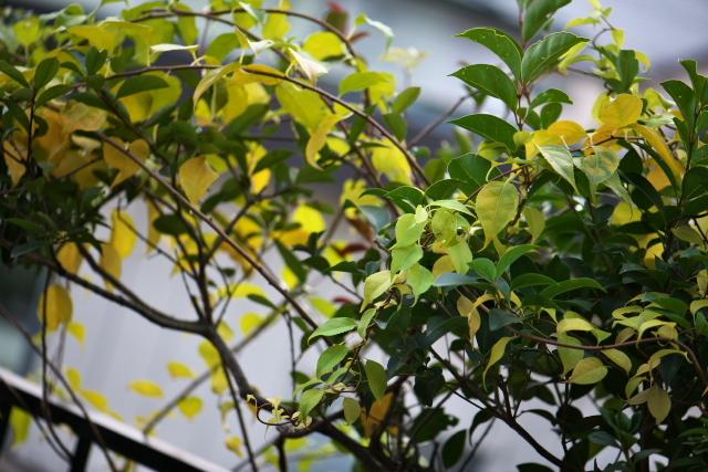 うっすらと黄葉が始まりましたツルウメモドキ