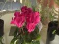 ガーデンシクラメン ピンク