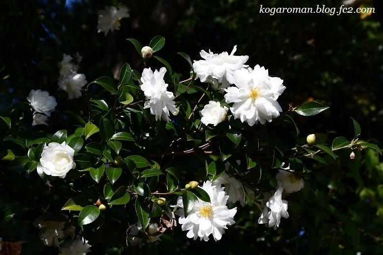 野木の公園で冬桜5