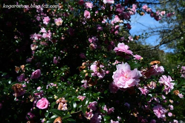 野木の公園で冬桜6