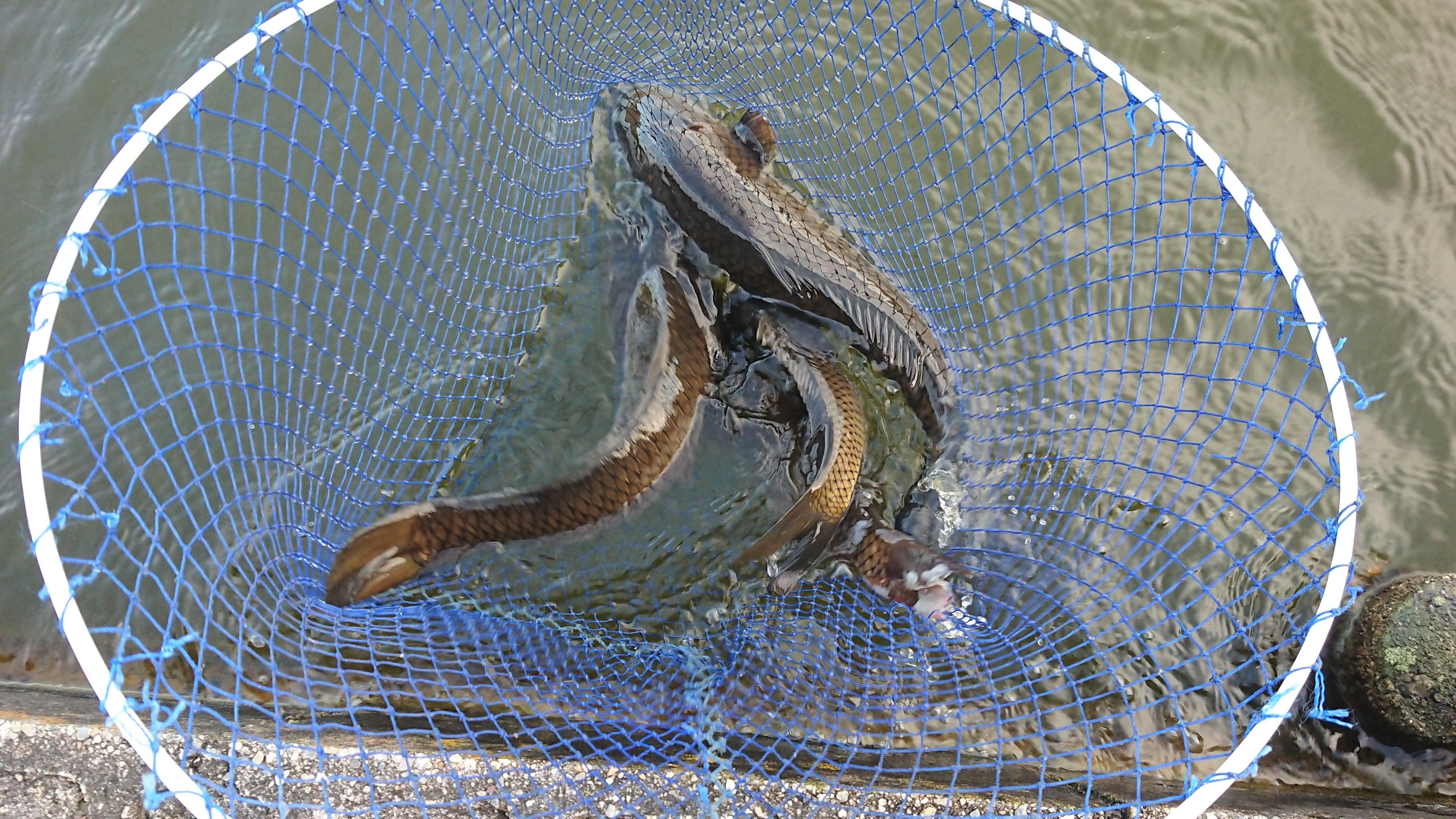 4匹釣ったけど、一匹飛んで逃げたので3匹です