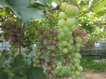 8月末のブドウ