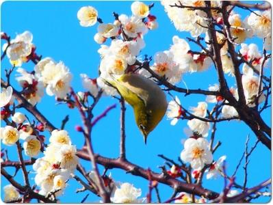mini_12_mejiro_P2085753.jpg
