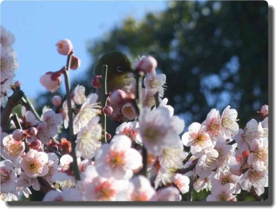 mini_18_20150310_mejiro_DSCF5538.jpg