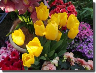 mini_5515_tulip_P2020641.jpg