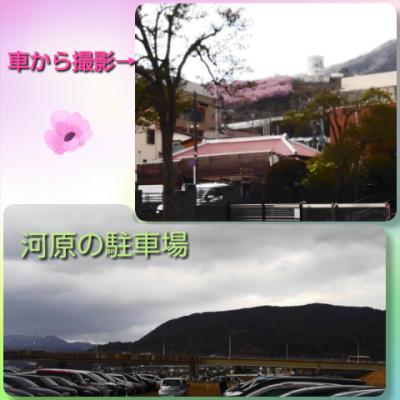 車からの桜と駐車場