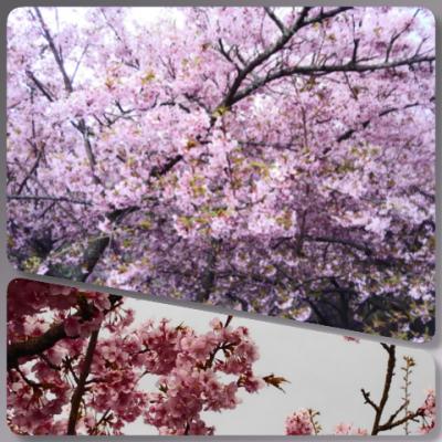 二月の桜ちゃん
