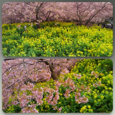 桜ちゃんと菜の花ちゃん