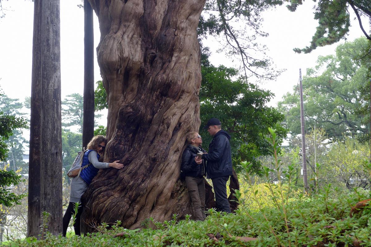 小田原城址公園のイヌマキの木