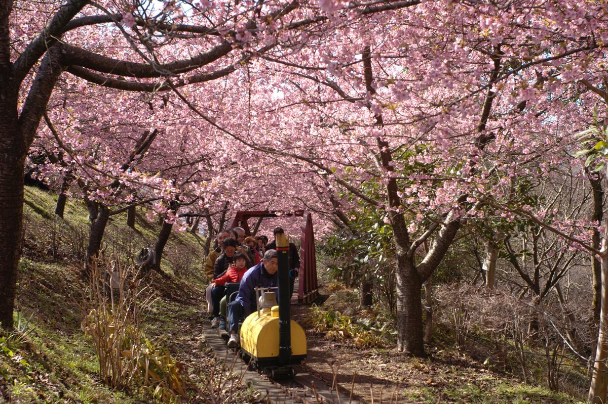 松田町西平畑公園の桜の下を走るふるさと鉄道