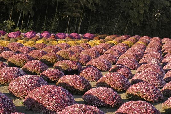 紫色に変色した二宮善波さん宅のざる菊