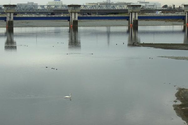 酒匂川飯泉取水堰に飛来したコブハクチョウ