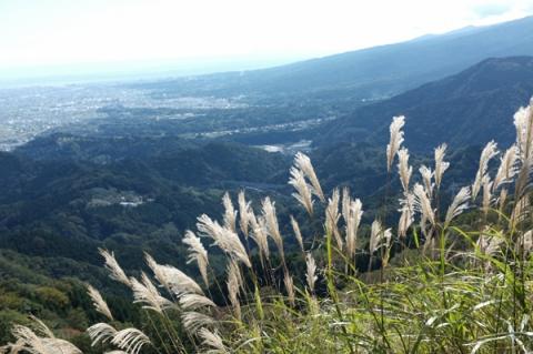 大野山山頂で風になびくススキ