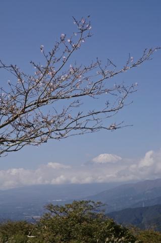 大野山山頂に咲いていた桜のような花