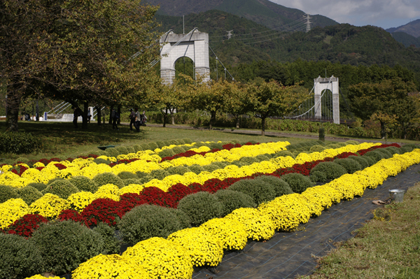 秦野戸川公園風の吊り橋とざる菊