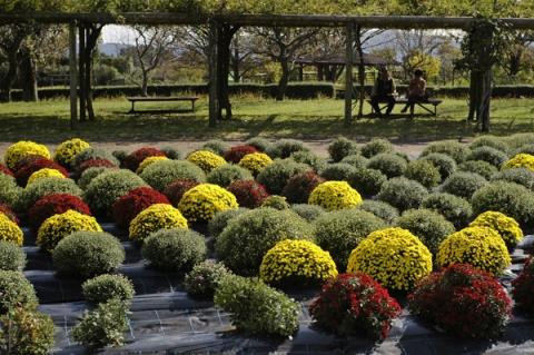 秦野戸川公園風のざる菊