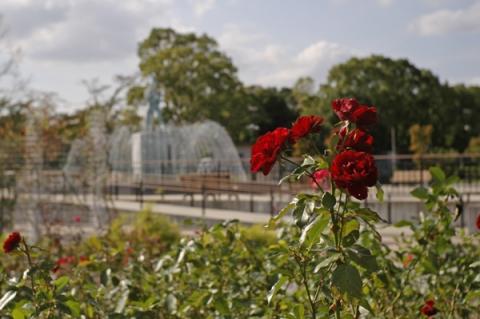 秦野カルチャーパークの紅いバラ