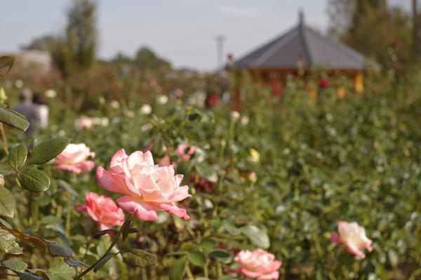 秦野カルチャーパークのピンクのバラ