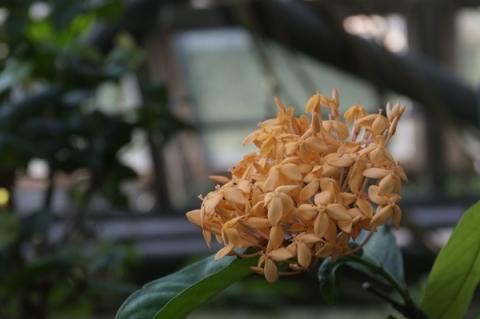 サンタンかの花