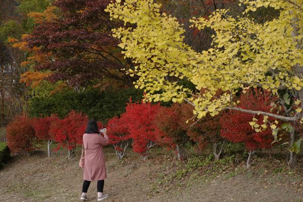 河口湖大石公園の紅葉