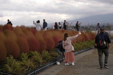 大石公園のコキア花壇