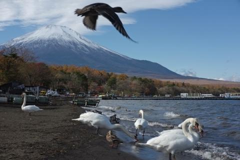 山中湖から白鳥を前景に富士山を望む