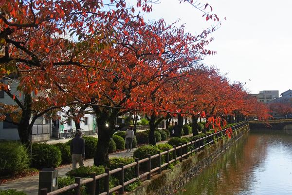 小田原お堀端通りの桜紅葉