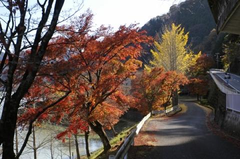 丹沢湖畔のイチョウ