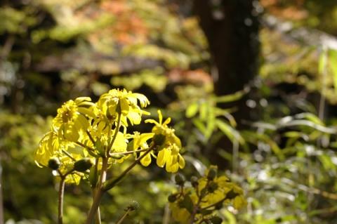 大磯城山公園のフキの花
