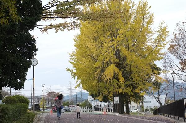 秦野カルチャーパークのイチョウの黄葉