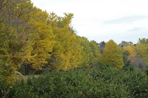 ブルックス大井事業所のイチョウ並木
