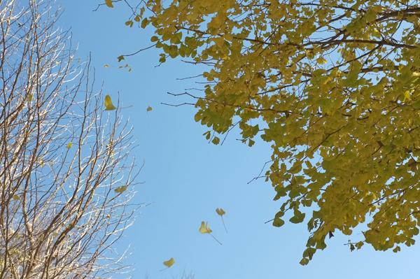 風に舞うイチョウの葉
