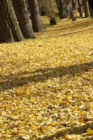 イチョウの落葉の絨毯
