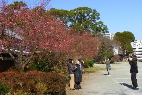 小田原城址公園歴史見聞館前の紅梅
