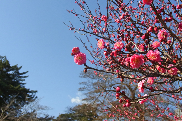 青空を背景にした紅梅の花